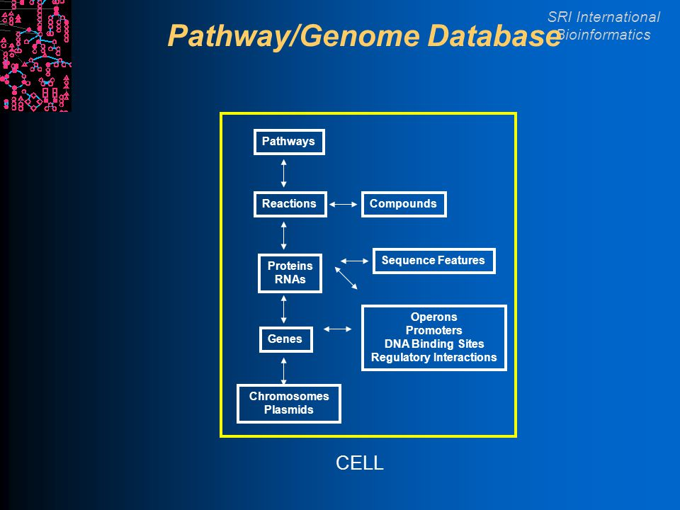 SRI International Bioinformatics Pathway/Genome Database Chromosomes Plasmids Genes Proteins RNAs Reactions Pathways Compounds CELL Operons Promoters