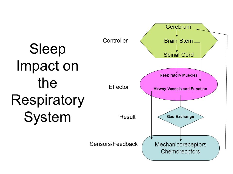 Sleep Impact on the Respiratory System Cerebrum Brain Stem Spinal Cord Controller Mechanicoreceptors Chemorecptors Sensors/Feedback Effector Respirato