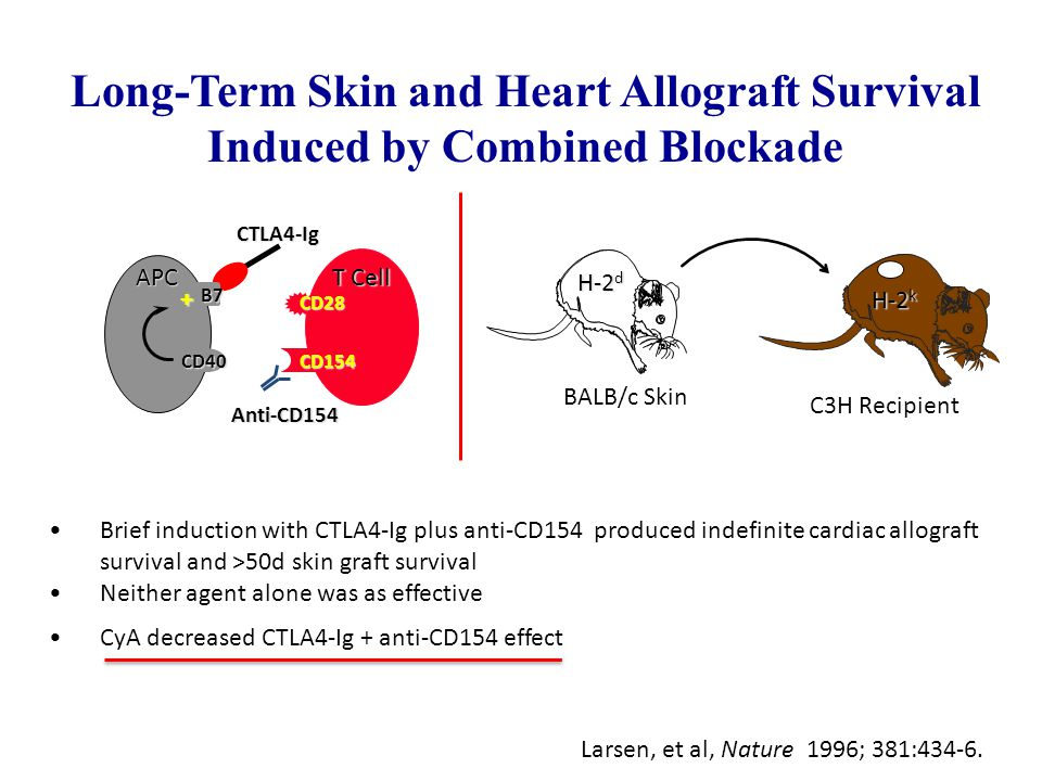 Brief induction with CTLA4-Ig plus anti-CD154 produced indefinite cardiac allograft survival and >50d skin graft survival Neither agent alone was as e