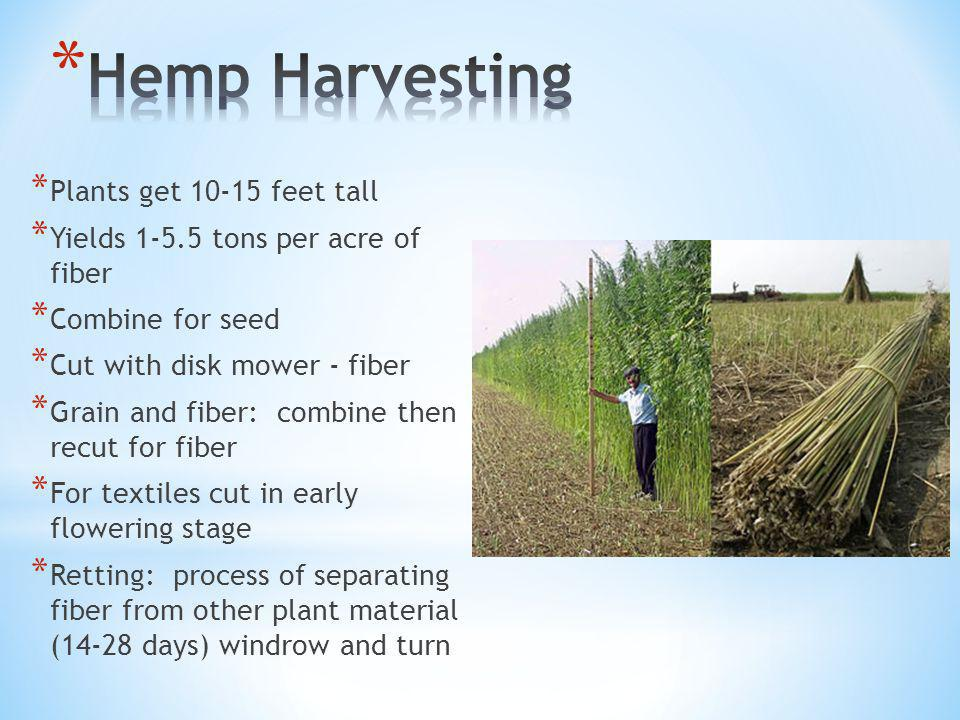 * Plants get 10-15 feet tall * Yields 1-5.5 tons per acre of fiber * Combine for seed * Cut with disk mower - fiber * Grain and fiber: combine then recut for fiber * For textiles cut in early flowering stage * Retting: process of separating fiber from other plant material (14-28 days) windrow and turn