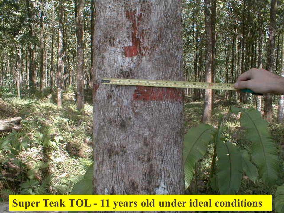 Super Teak TOL - 11 years old under ideal conditions