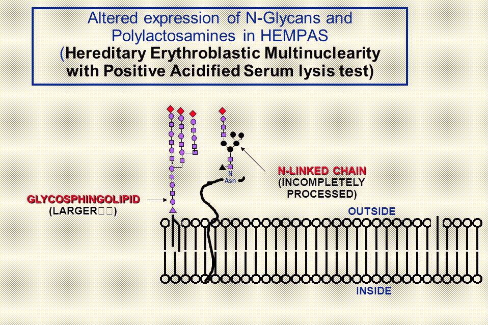 HEMPAS (hereditary erythroblastic multinuclearity with positive acidified serum lysis test) Congenital dyserythropoietic anemia type II or HEMPAS is a