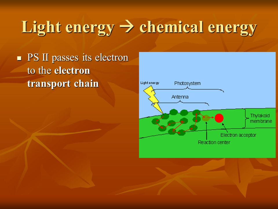 Light energy chemical energy PS II passes its electron to the electron transport chain PS II passes its electron to the electron transport chain