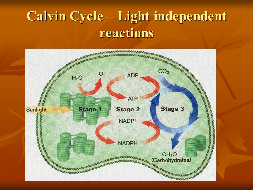 Calvin Cycle – Light independent reactions