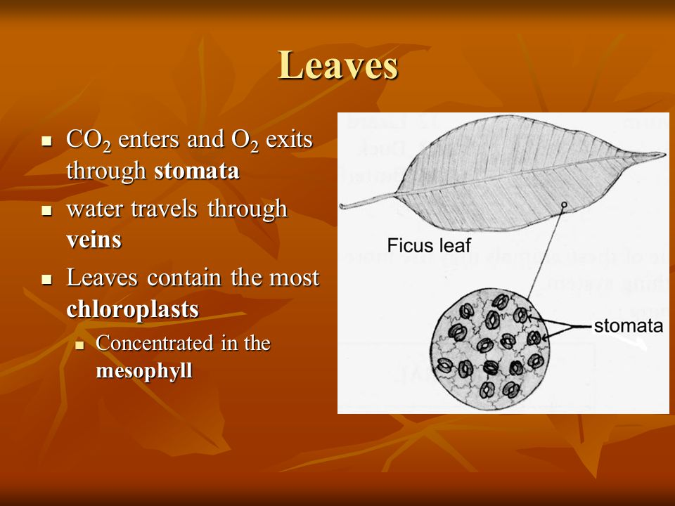 Leaves CO 2 enters and O 2 exits through stomata CO 2 enters and O 2 exits through stomata water travels through veins water travels through veins Lea