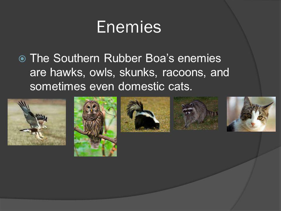 Enemies The Southern Rubber Boas enemies are hawks, owls, skunks, racoons, and sometimes even domestic cats.
