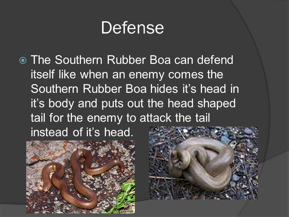 Defense The Southern Rubber Boa can defend itself like when an enemy comes the Southern Rubber Boa hides its head in its body and puts out the head sh