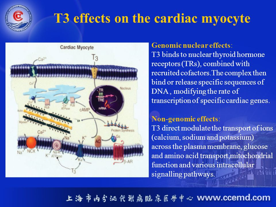 T3 effects on the cardiac myocyte Genomic nuclear effects: T3 binds to nuclear thyroid hormone receptors (TRs), combined with recruited cofactors.The
