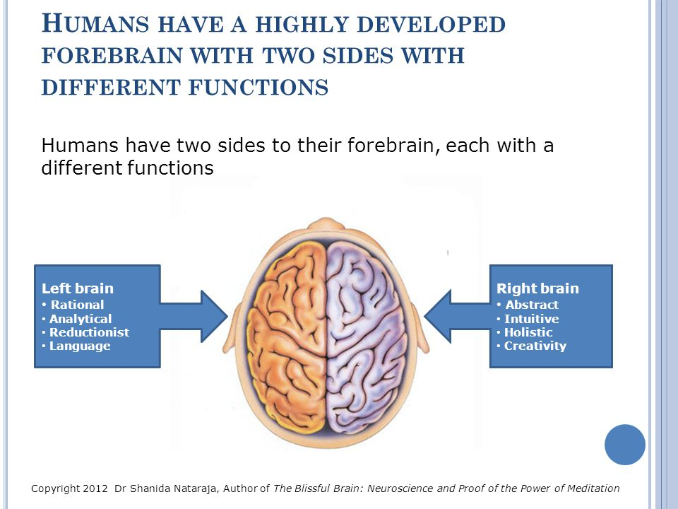 H UMANS HAVE A HIGHLY DEVELOPED FOREBRAIN WITH TWO SIDES WITH DIFFERENT FUNCTIONS Humans have two sides to their forebrain, each with a different func