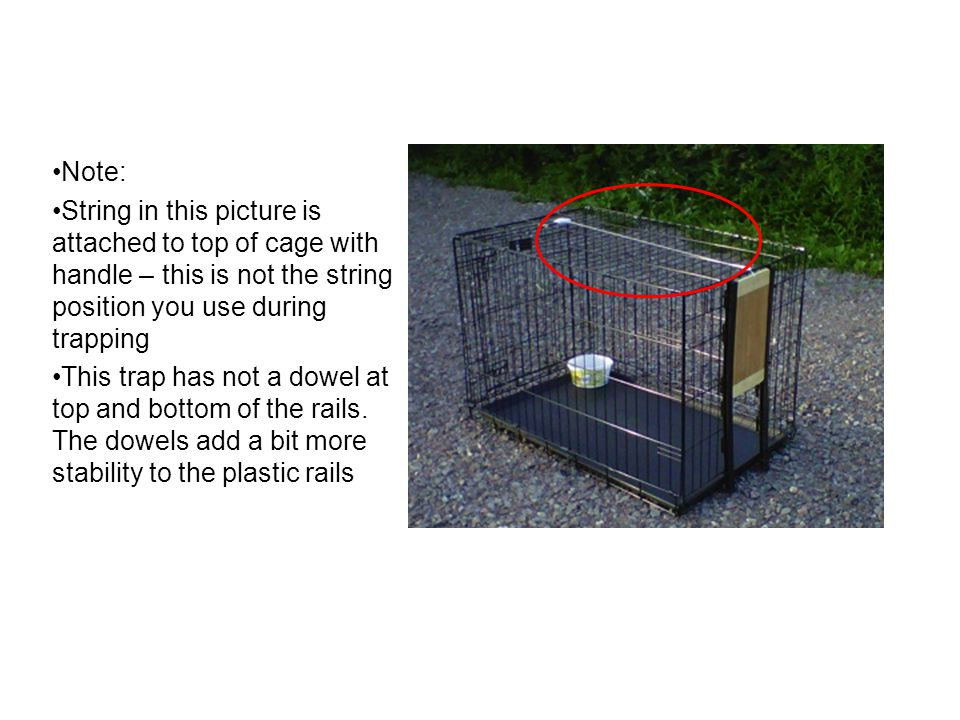 Note: String in this picture is attached to top of cage with handle – this is not the string position you use during trapping This trap has not a dowe