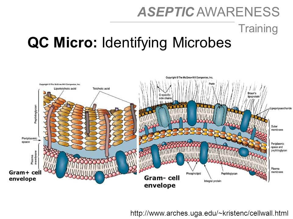 ASEPTIC AWARENESS Training http://www.arches.uga.edu/~kristenc/cellwall.html QC Micro: Identifying Microbes