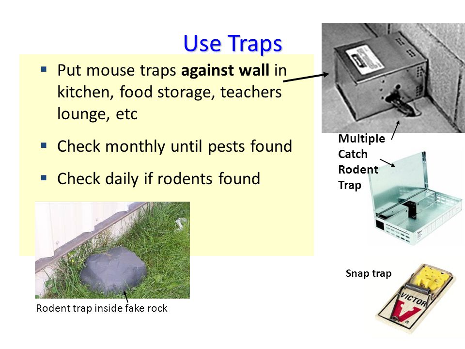Put mouse traps against wall in kitchen, food storage, teachers lounge, etc Check monthly until pests found Check daily if rodents found Multiple Catch Rodent Trap Snap Trap Use Traps Snap trap Rodent trap inside fake rock