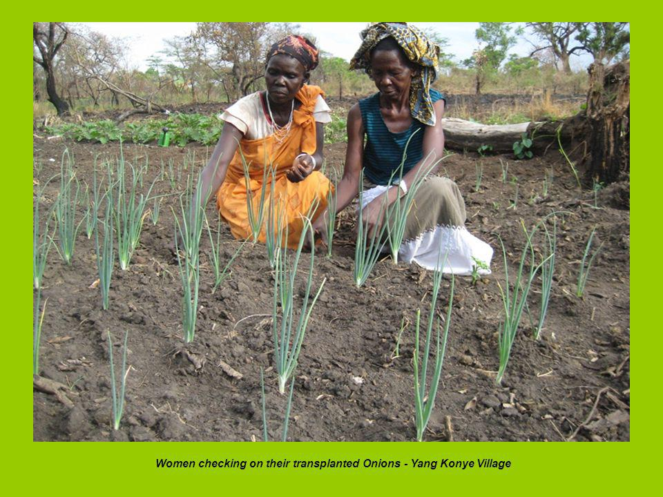 Women checking on their transplanted Onions - Yang Konye Village