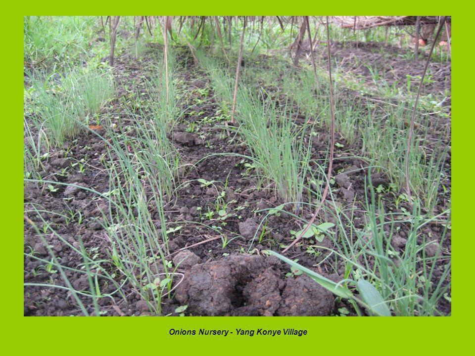 Onions Nursery - Yang Konye Village