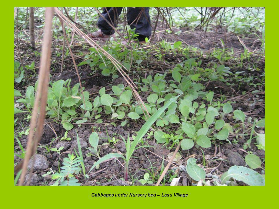 Cabbages under Nursery bed – Lasu Village