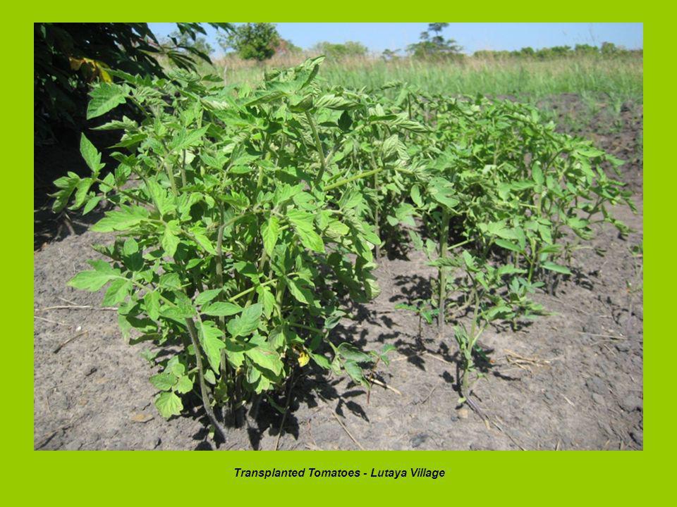 Transplanted Tomatoes - Lutaya Village