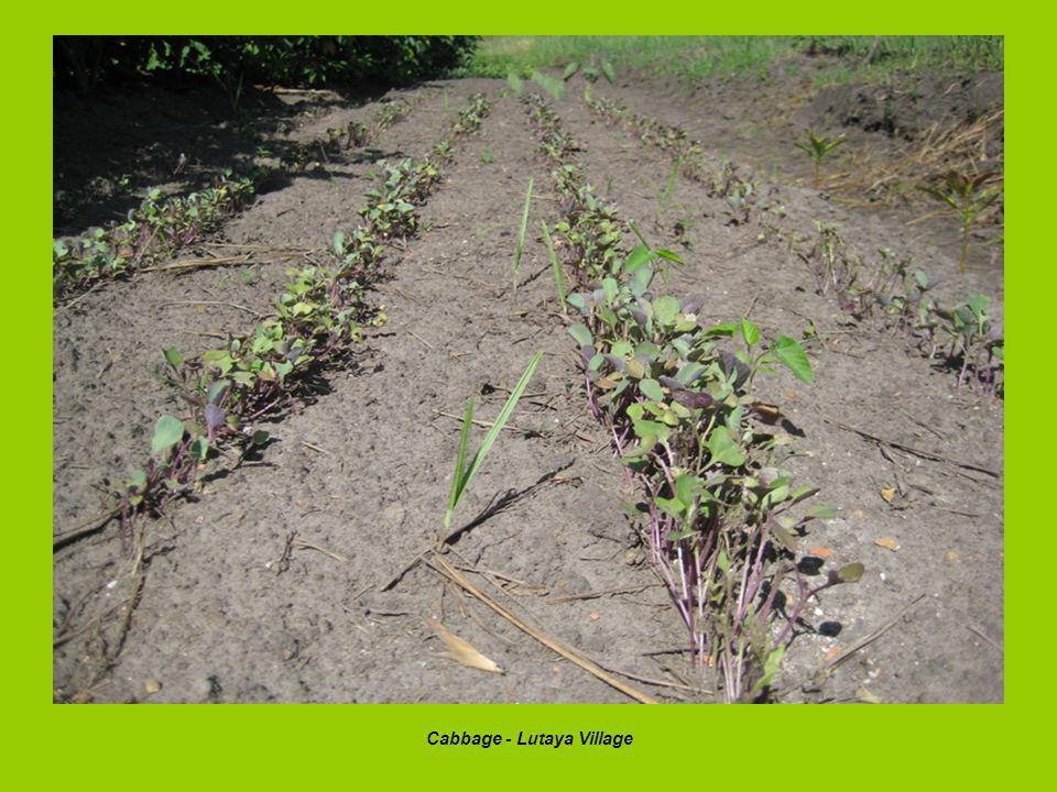 Cabbage - Lutaya Village