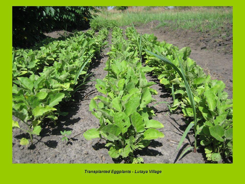 Transplanted Eggplants - Lutaya Village