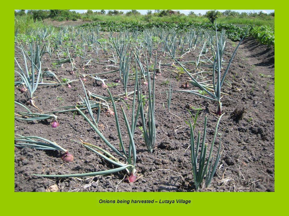 Onions being harvested – Lutaya Village