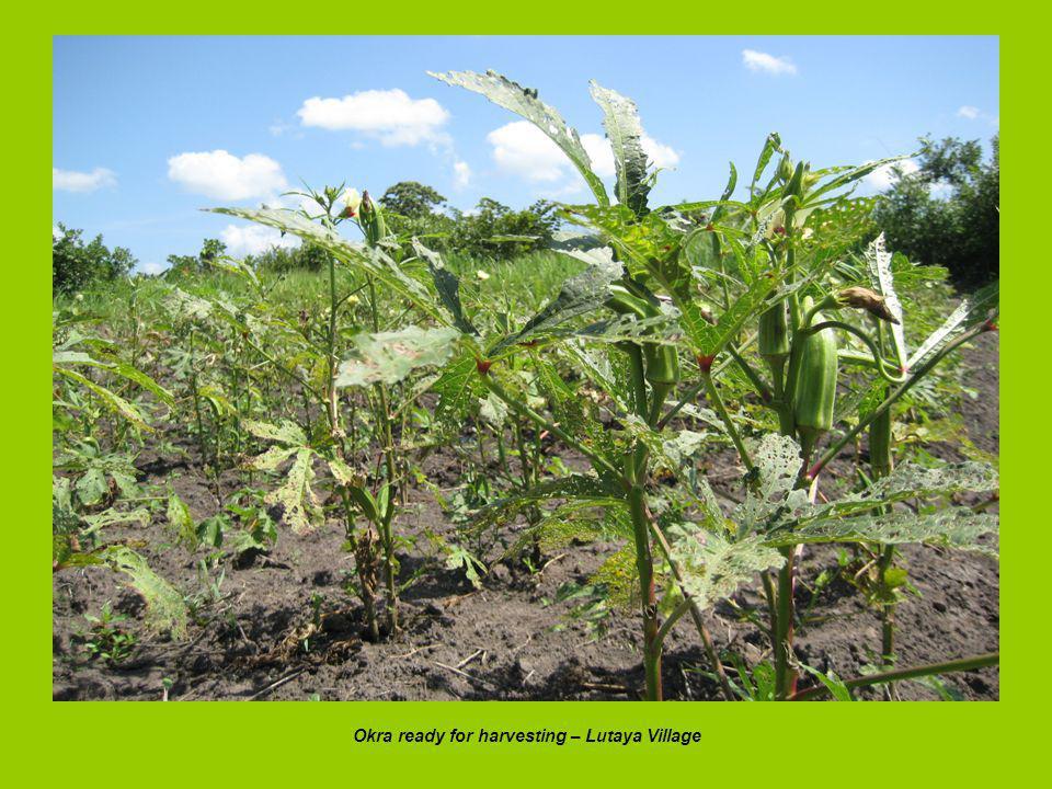 Okra ready for harvesting – Lutaya Village