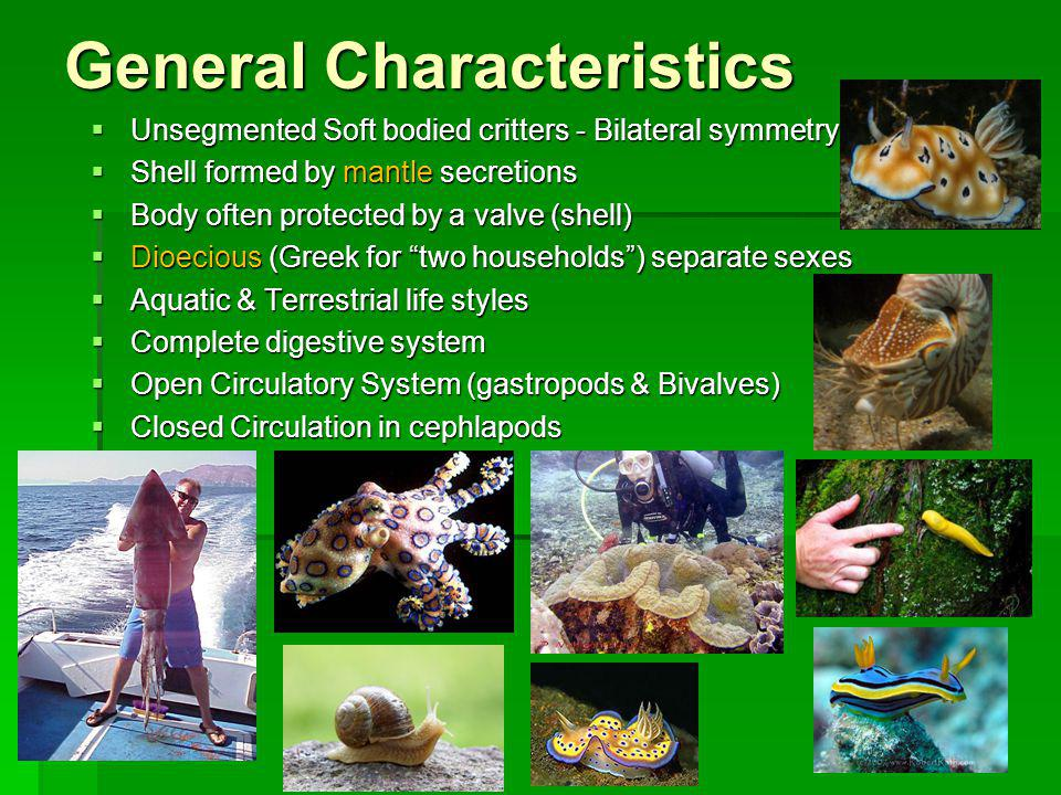 Classification Based on presence or absence of a shell (valve), the number of shells and by the type of foot present Based on presence or absence of a shell (valve), the number of shells and by the type of foot present Class Gastropoda - stomach foot one valve: snails, slugs, abalone, nudibranchs.