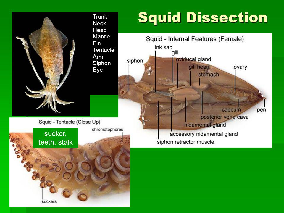 Squid Dissection Trunk Neck Head Mantle Fin Tentacle Arm Siphon Eye sucker, teeth, stalk