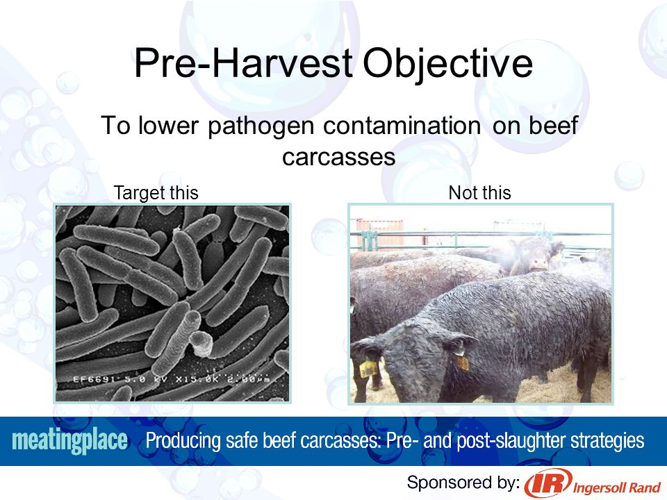 Pre-Harvest Objective To lower pathogen contamination on beef carcasses Target this Not this