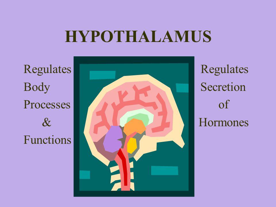 HYPOTHALAMUS Regulates Body Secretion Processes of & Hormones Functions