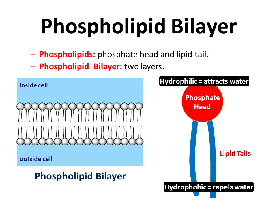 Membrane Structure Phospholipid bilayer (nonpolar) Membrane proteins: act as transport channels. Carbohydrate chains: act as ID tags for the cell. Cho