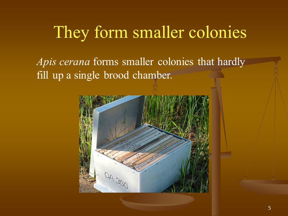 5 They form smaller colonies Apis cerana forms smaller colonies that hardly fill up a single brood chamber.