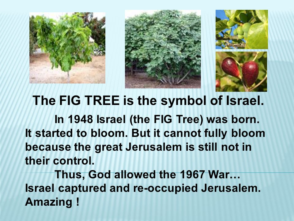 The FIG TREE is the symbol of Israel.