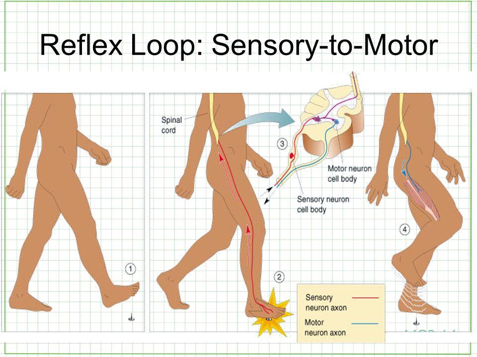 Reflex Loop: Sensory-to-Motor