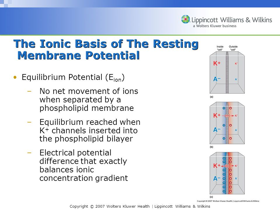 Copyright © 2007 Wolters Kluwer Health | Lippincott Williams & Wilkins The Ionic Basis of The Resting Membrane Potential Equilibrium Potential (E ion