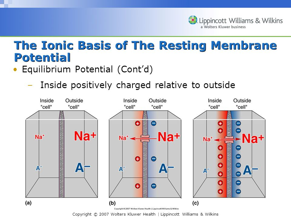 Copyright © 2007 Wolters Kluwer Health | Lippincott Williams & Wilkins The Ionic Basis of The Resting Membrane Potential Equilibrium Potential (Contd)