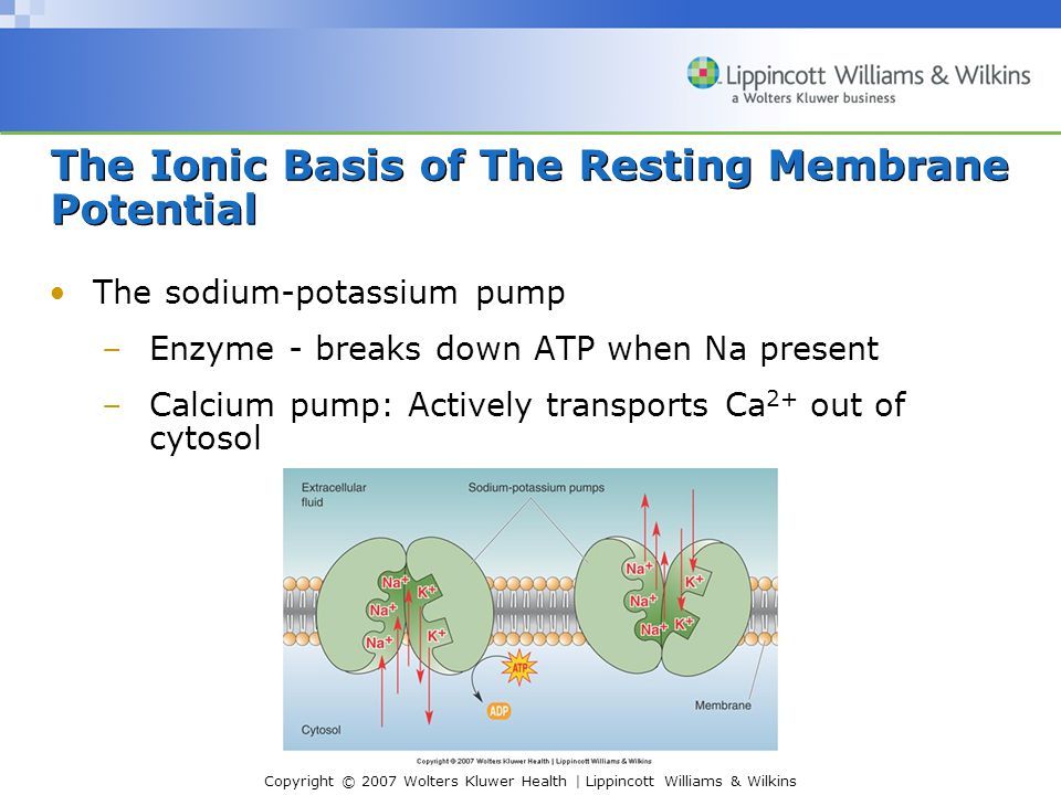 Copyright © 2007 Wolters Kluwer Health | Lippincott Williams & Wilkins The Ionic Basis of The Resting Membrane Potential The sodium-potassium pump –En