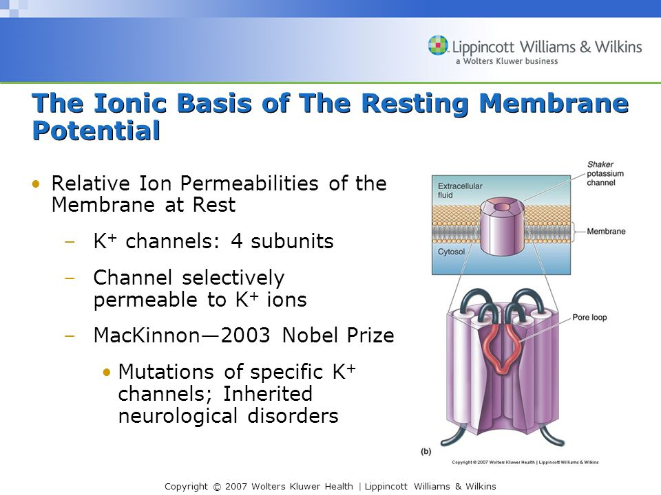 Copyright © 2007 Wolters Kluwer Health | Lippincott Williams & Wilkins The Ionic Basis of The Resting Membrane Potential Relative Ion Permeabilities o