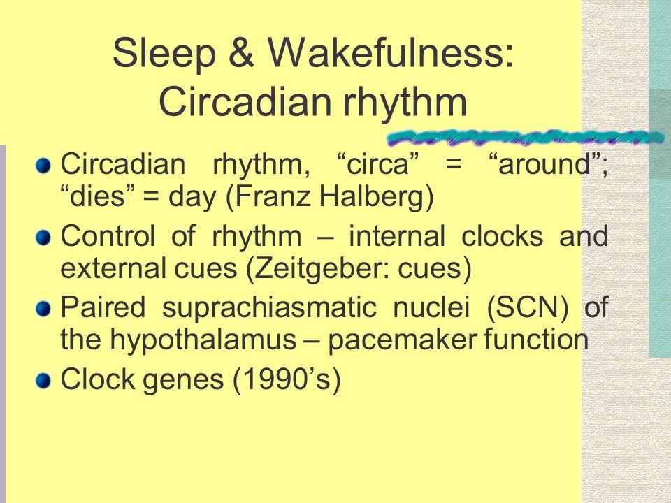 Sleep & Wakefulness: Circadian rhythm Circadian rhythm, circa = around; dies = day (Franz Halberg) Control of rhythm – internal clocks and external cues (Zeitgeber: cues) Paired suprachiasmatic nuclei (SCN) of the hypothalamus – pacemaker function Clock genes (1990s)