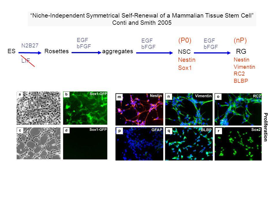 ES aggregatesRosettes NSC Nestin Sox1 LIF N2B27 EGF bFGF Niche-Independent Symmetrical Self-Renewal of a Mammalian Tissue Stem Cell Conti and Smith 20