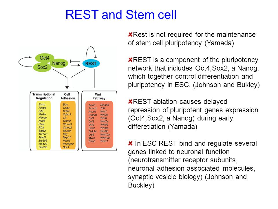 REST and Stem cell Rest is not required for the maintenance of stem cell pluripotency (Yamada) REST is a component of the pluripotency network that in