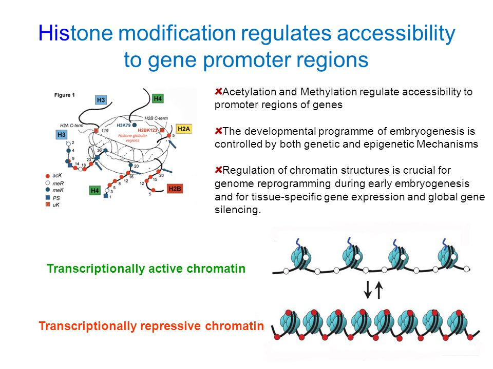 Histone modification regulates accessibility to gene promoter regions Transcriptionally active chromatin Transcriptionally repressive chromatin Acetyl