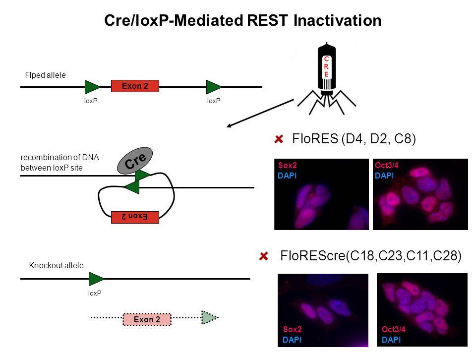 Exon 2 Flped allele loxP Exon 2 Cre loxP Exon 2 Cre/loxP-Mediated REST Inactivation Knockout allele FloRES (D4, D2, C8) recombination of DNA between l
