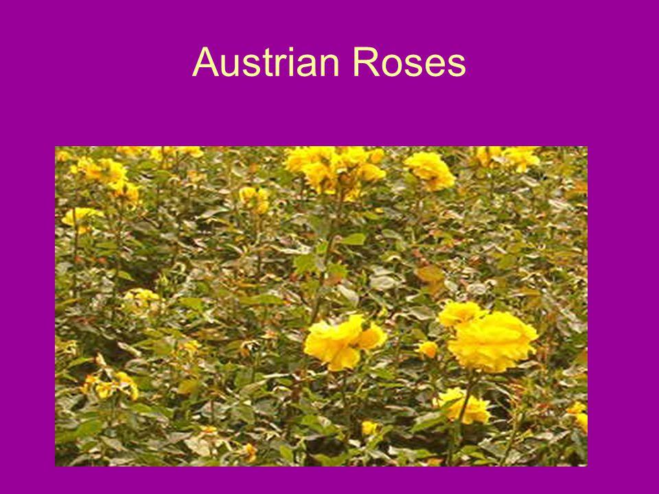 Austrian Roses