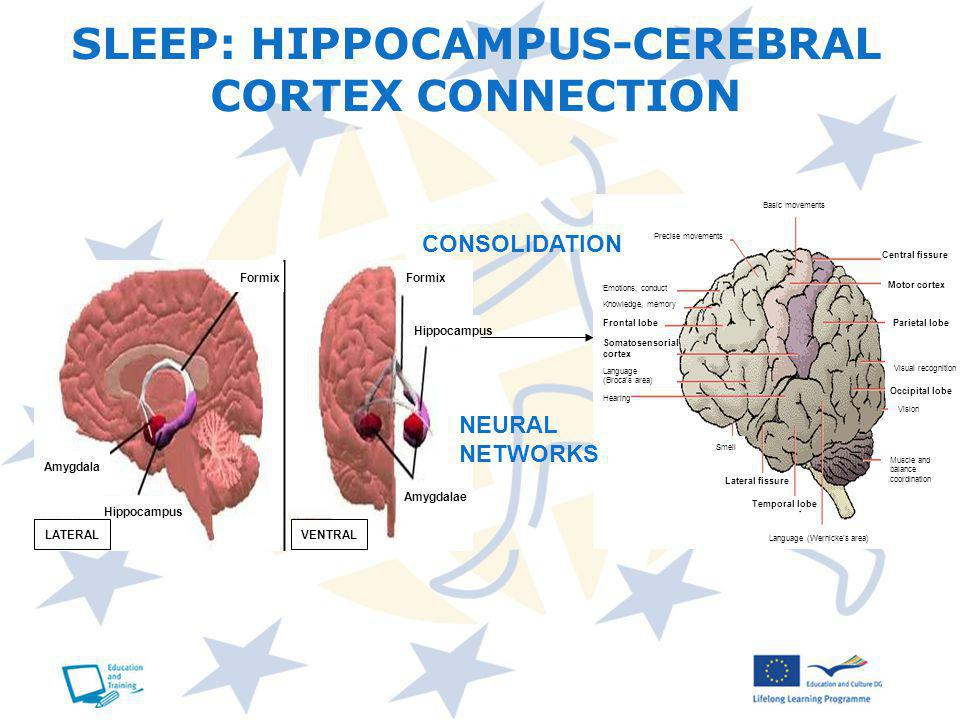 SLEEP: HIPPOCAMPUS-CEREBRAL CORTEX CONNECTION CONSOLIDATION NEURAL NETWORKS Central fissure Motor cortex Parietal lobe Occipital lobe Frontal lobe Somatosensorial cortex Lateral fissure Temporal lobe Visual recognition Vision Smell Basic movements Precise movements Emotions, conduct Knowledge, memory Language (Brocas area) Hearing Language (Wernickes area) Muscle and balance coordination Formix Hippocampus Amygdala LATERALVENTRAL Amygdalae Hippocampus Formix