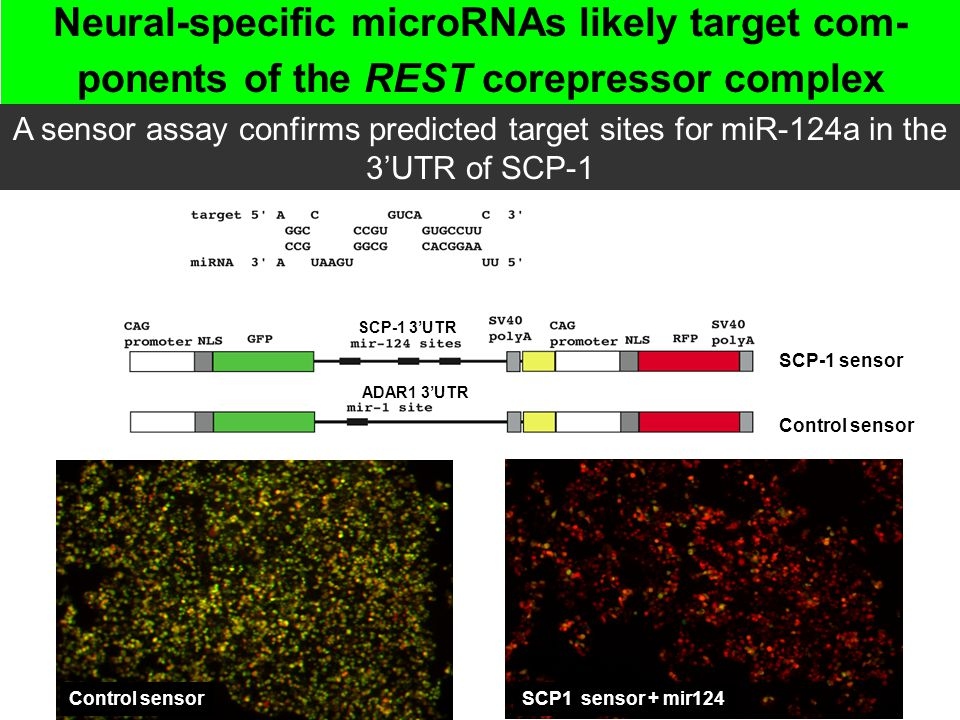 Neural-specific microRNAs likely target com- ponents of the REST corepressor complex A sensor assay confirms predicted target sites for miR-124a in th
