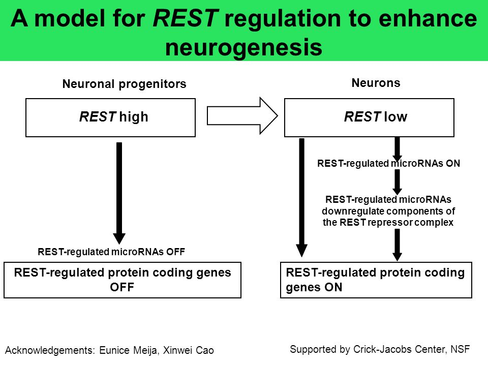 REST high Neuronal progenitors Neurons REST-regulated microRNAs OFF REST-regulated microRNAs ON REST-regulated microRNAs downregulate components of th