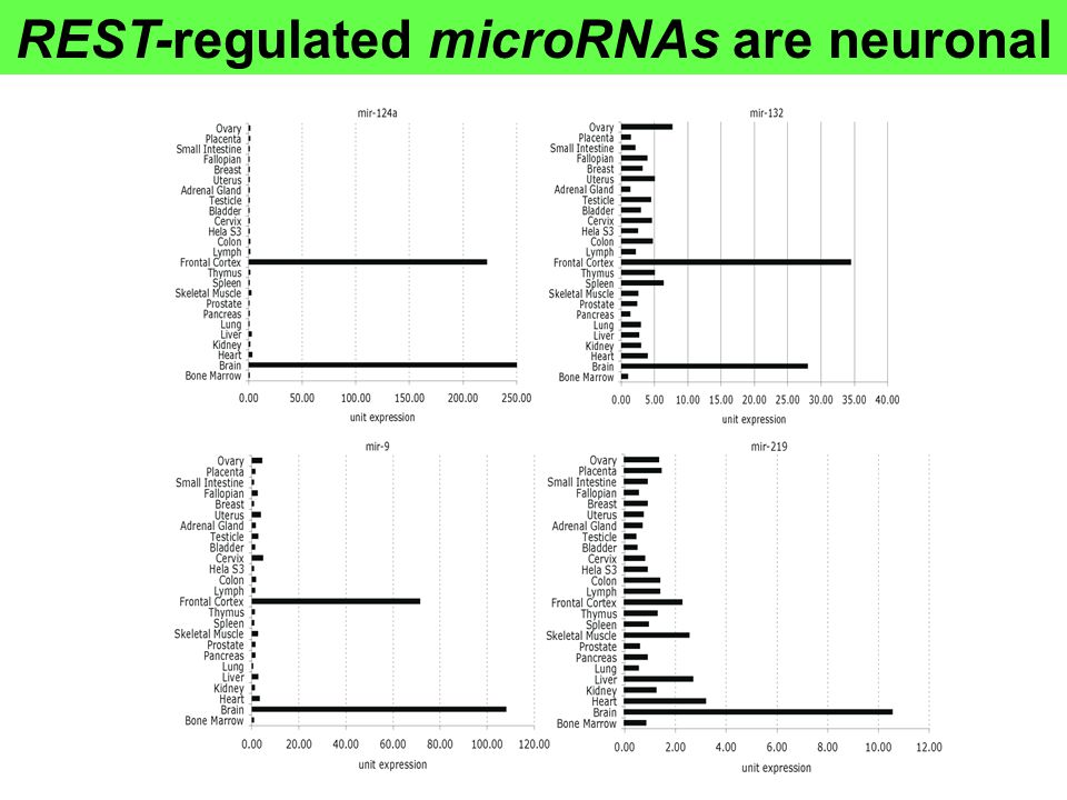REST-regulated microRNAs are neuronal