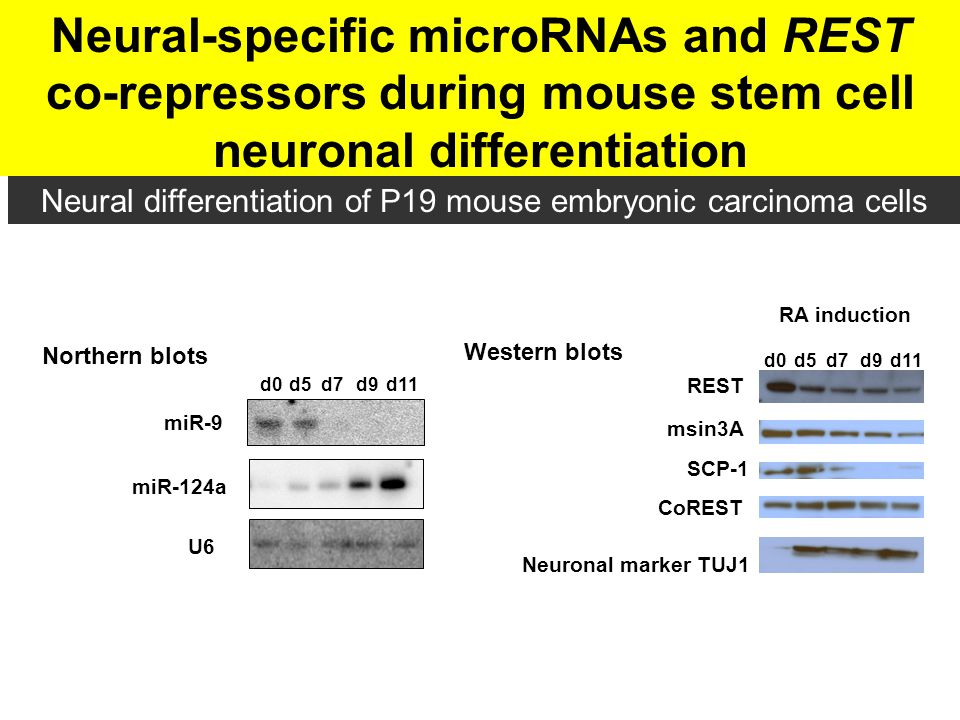 Neural-specific microRNAs and REST co-repressors during mouse stem cell neuronal differentiation d7d5d9d11d0 Neuronal marker TUJ1 REST msin3A SCP-1 Co