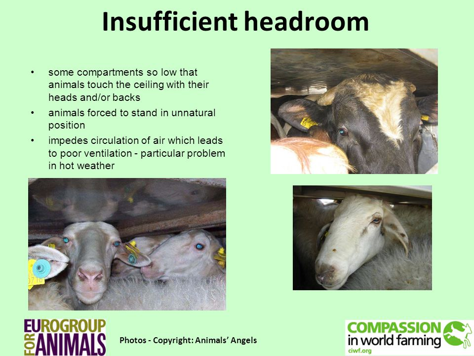 Insufficient headroom Photos - Copyright: Animals Angels some compartments so low that animals touch the ceiling with their heads and/or backs animals forced to stand in unnatural position impedes circulation of air which leads to poor ventilation - particular problem in hot weather