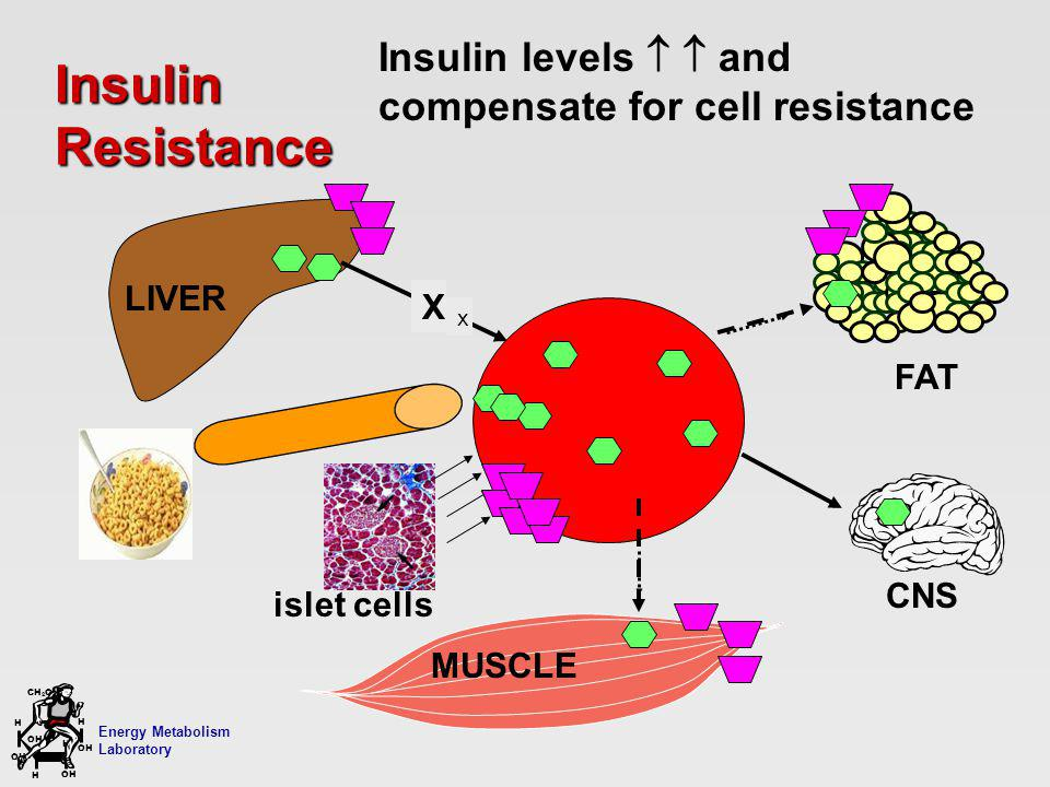 Energy Metabolism Laboratory H H OH CH 2 OH H OH H Insulin Resistance LIVER MUSCLE GLUCOSE FFA X x Insulin levels and compensate for cell resistance FAT CNS islet cells