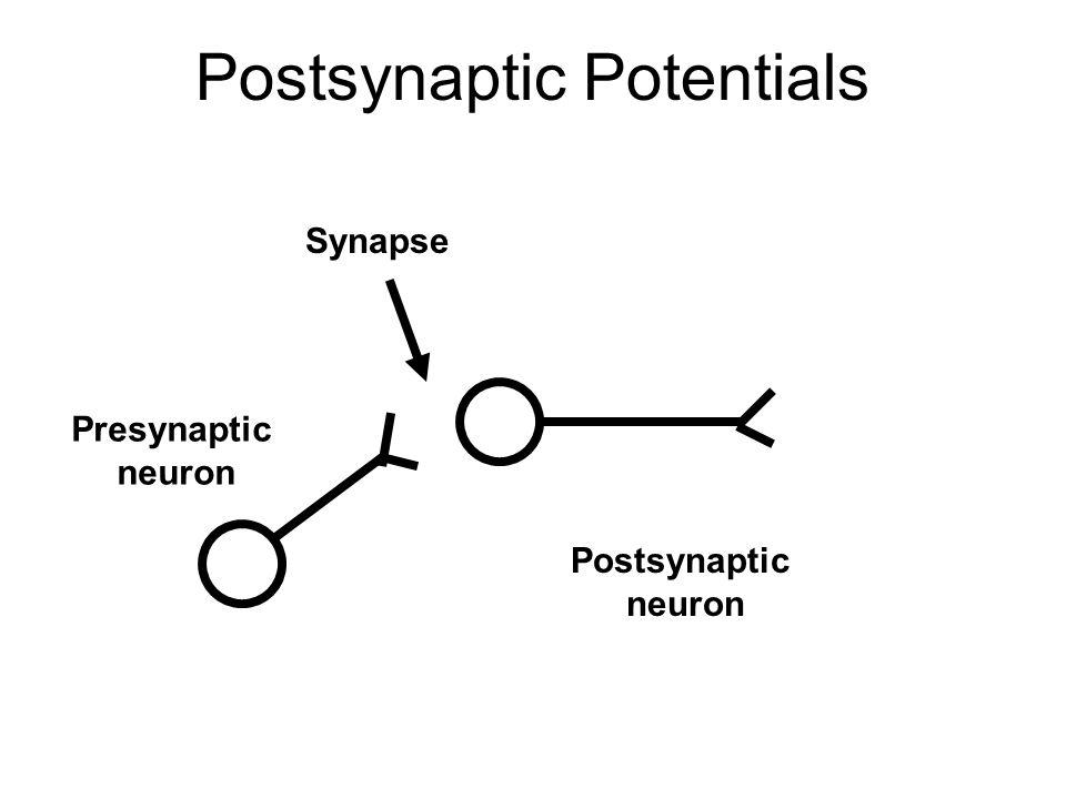 Postsynaptic Potentials Presynaptic neuron Postsynaptic neuron Synapse